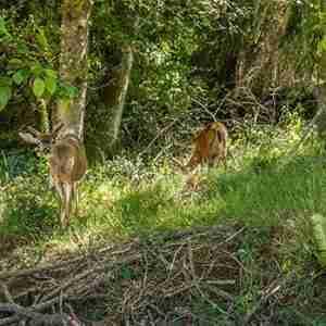 Blake Island State Park Deer